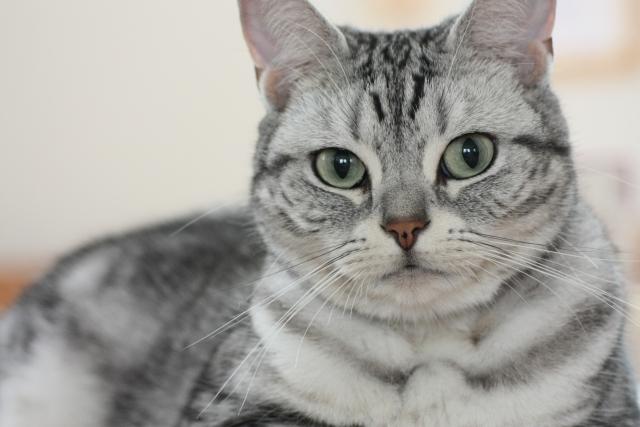 猫の尿管結石(にょうかんけっせき)