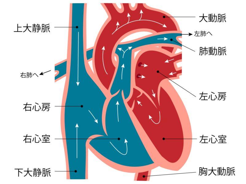 心臓の解剖図
